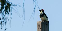 Acorn Woodpecker (phoca2004) Tags: acornwoodpecker d90 melanerpesformicivorus nikon picidae piciformes pointreyes pointreyesbirdingnaturefestival pointreyespeninsula tomalesbay tomalesbayecologicalreserve zygodactylfoot inverness california unitedstates us