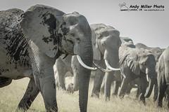 20160216-16-30-44_A014958 2000px (ajm057) Tags: africa africanelephantloxodontaafricana africanbushelephantloxodontaafricana amboselinationalpark andymillerphotolondonuk elephantidaeelephants kenya loxodonta mammal nikond4s proboscideaelephants reservesparks wildlifephotography kajiado ke african elephant