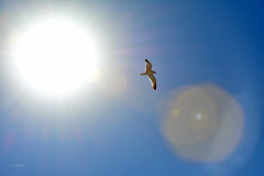 Light The Way (vgphotoz) Tags: vgphotoz illuminate bird sky sun lighttheway light bright freespirit freeasabird california usa round circle rays peace sandiego flashback marculescueugendreamsoflightportal abrightidea lookatthebrightside