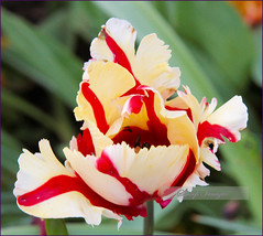 Another Fancy Tulip (sh10453) Tags: oakpark michigan usa flowers tulips canon eos 5d nature garden