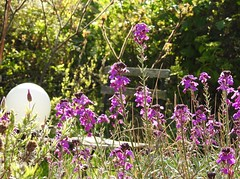 ABUNDANCY OF HEAVEN (Poppy Cocqué ღ) Tags: poem prose poetry soundtrack quote quotation ap poppy poppycocqué abundancy abundancyofheaven fadeintoyou mazzystar khalilgibran moon solarlight chair gardenchair flowers fleur flora spring springtime purple garden mygarden floral wallflower mauve erysimum erysimumbowlesmauve bowlesmauve erysimumlinifoliumglaucum erysimumlinifoliumbowlesmauve brassicaceae