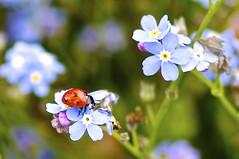 Marienkäfer (izoll) Tags: macro bokeh sony pflanzen blumen blau makro insekt insekten käfer blüten marienkäfer glücksbringer vergissmeinnicht myosotis nahaufnahmen alpha580 izoll myosotissylvatika