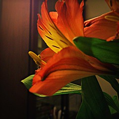 Some flower (maistora) Tags: red flower green yellow mobile backlight lily phone sony alstroemeria android app contrejour peruvian pixlr xperia picsay flickrandroidapp:filter=none
