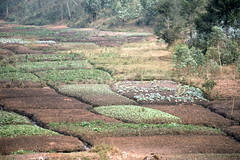Irrigated Small Garden Plots, Aug 1986, Burundi img414 (Hart Walter) Tags: tourism coffee cattle rice tea goats sunflower sisal camels sugarcane deforestation desertification tef africanlanduse baobabdestruction