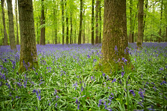 Ashridge Estatee (Nada*) Tags: uk flowers blue trees england tree green nature leaves bluebells forest wow season outdoors woods natural hiking walk hike fresh growth vegetation flowering environment wald priroda baum ashridge umwelt inbloom baume ashridgeestate flooming