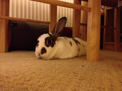 Sausage bunny! (MrBigglesworth) Tags: rabbit bunny minirex uploaded:by=flickrmobile flickriosapp:filter=nofilter
