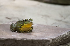 Frog (Yann Tastayre) Tags: ontario canada green nature yellow rock canon rebel zoom wildlife frog xs