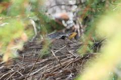 Ruva i Frid (auzgos) Tags: gran bo träd frid fågel björktrast härjedalen hona fågelbo fjädrar ruva näbb fotosondag fs130602