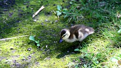 (_Veeee) Tags: baby canon duckling babyduck canonrebelxs