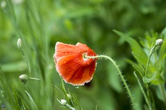 Pretty Poppies (raisinsawdust - (aka: withaneyephotography)) Tags: flowers light red nikon colorful b