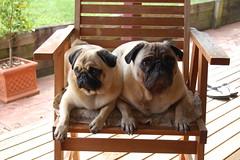Peggy and Duncan (John Panneman Photography (AcePanno)) Tags: dog d50 nikon pug peggy duncan