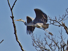 Mitten durchs Gest - Through the middle of the branches (neusiedler) Tags: greyheron graureiher
