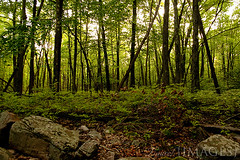 Tall Trees (LaurelImages) Tags: trees brown green forest woods rocks hiking pennsylvania trail wilds