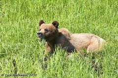 Grizzly grazing (LisaHufnagel) Tags: bear beautiful photography nikon bc britishcolumbia bears columbia british northern brownbear d800 northernbc grizzlybear 70200mmf28 khutzeymateen ursusarctosgyas