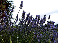 lavenderblue (montereycamera) Tags: california family flowers blue reflection nature beauty work spirit walk faith prayer lavender attitude fragrant centralcoast timeless contemplation carmelvalley organicfarm montereypeninsula montereycamera