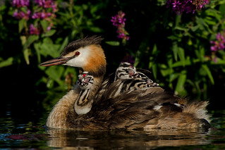 Great Crested Grebe - Happy families
