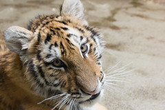 I See You (Craig Dyni) Tags: animals places potterparkzoo flickrbigcats