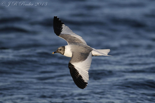 """Sabine's Gull,  (2)at sea off Scilly (J.Pender) • <a style=""""font-size:0.8em;"""" href=""""http://www.flickr.com/photos/30837261@N07/9901963823/"""" target=""""_blank"""">View on Flickr</a>"""