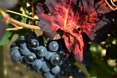 Ram i pmpol de Tardor, el Pendes. (Angela Llop) Tags: red fall spain autum via wine eu vine catalonia vineyards grape penedes vitisvinifera