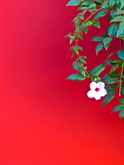 White flower, red wall (phxdailyphotolady) Tags: red white flower art wall expression vine