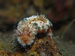 Curled-up Cincta (MerMate) Tags: canon indonesia underwater diving powershot nudibranch komodo g12 liveaboard nocropping seaslugs cois glossodoris mermaidii nudilovers wpdc34