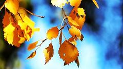 Tha last leafs (Explore 2013-10-16)
