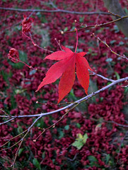 Fall... last leaf (christiane.grosskopf) Tags: autumn red rot canon leaf maple herbst blatt ahorn s95