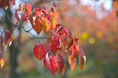 (myu-myu) Tags: autumn nature japan leaf nikon ngc npc   d800 cornusflorida  planart1450zf
