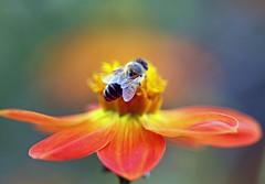 Dahlia coccinea / Scharlach Dahlie (Mah Nava) Tags: dahlia orange flower macro bokeh blume makro hoverfly  schwebfliege dahlie  kleinflottbek botanischergartenhamburg   dahliacoccinea   scarletdahlia lokischmidtgarten scharlachdahlie scharlachdahlia