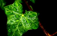 Ivy Leaf in the Rain #leshaines123 #dailyshoot (Leshaines123) Tags: autumn light colour art texture monochrome contrast canon photography eos mono photo artwork flickr foto herefordshire hereford facebook twitter anawesomeshot dazzlingshot vividstriking pinterest leshaines leshaines123 bestofshots