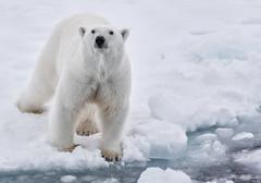 Eat something else bear! (Hkon Kjllmoen, Norway) Tags: snow cold ice canon polarbear supershot flickrsbest impressedbeauty flickrdiamond canoneos5dmarkiii 5dmkiii mybestwildlife mygearandme mygearandmepremium canon70200l28ii