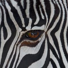 Zebra Eye (C4609) (C-Dals) Tags: canada calgary nikon alberta nikkor calgaryzoo zebras d5200 18300mmf3556gvr getfocusedatthezoo2013