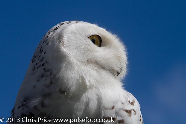 PF0303 Snowy Owl.jpg