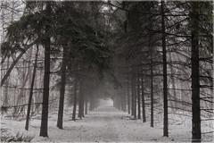 Trail (Chris Lue Shing) Tags: winter bw snow ontario canada tree fog forest blackwhite path trail aurora sheppardsbush olympusep1 sigma19mmf28exdn chrislueshing