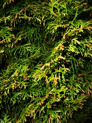 Pine Tree (Bebopgirl1969) Tags: tree green pine garden needles