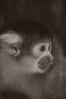 Black-capped Squirrel Monkey Mono