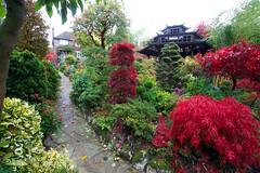Autumn reds in the Pagoda garden (Four Seasons Garden) Tags: uk autumn england crimson garden four pagoda wooden seasons queen acer shaina walsall palmatum osakazuki dissectum laceleaf fourseasonsgarden