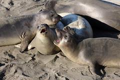 The Hearst San Simeon State Park Elephant Seal Trail,  California (sensaos) Tags: california park travel sea elephant beach nature animal animals mammal coast big san state wildlife trail seal shore sur sealion mammals hearst simeon the 2013 sensaos