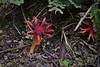 Stinkhorn mushroom (Aseroe rubra) (Tomas Sobek) Tags: red newzealand arms fungi smell otago slime stalk disgust odour aseroerubra starfishfungus anemonestinkhorn stinkhornmushroom seaanemonefungus