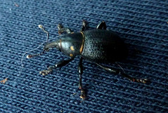 Liparus coronatus - Charanon couronn (Nessy apprentie en rangement) Tags: insect coleoptera curculionidae charanon