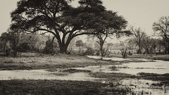 Once Upon A Time ... (AnyMotion) Tags: trees bäume river fluss 2008 botswana anymotion africa afrika animal animals tiere nature reisen travel wildlife khwairiver moremigamereserve okavangodelta landscape landschaft landschaftsaufnahmen bw blackandwhite sw