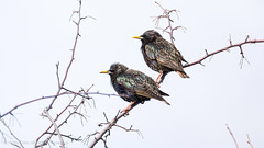 Starlings (iPhilFlash) Tags: starling europeanstarling vancouver animals wildlife outdoors wildbirds britishcolumbia garrypointpark bird steveston canada nature outdoor richmond animal ca
