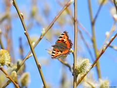 Small tortoiseshell (Corine Bliek) Tags: vlinders butterflies nature wildlife summer papillon mariposa insect animal natuur outdoor butterfly