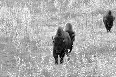 ROAM OF THE WOOD BISON (DESPITE STRAIGHT LINES) Tags: nikon d800 nikond800 nikkor2470mm nikon2470mm nikongp1 paulwilliams despitestraightlines flickr gettyimages getty gettyimagesesp despitestraightlinesatgettyimages alaskahighway liardhotsprings canada britishcolumbia bison bisonherd woodbison americanbison bullwoodbison buffalo bisonbisonathabascae