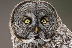 What are you looking at? (Anne Marie Fraser) Tags: great gray owl grey greatgrayowl greatgreyowl nature wildlife wild raptor bird closeup yellow