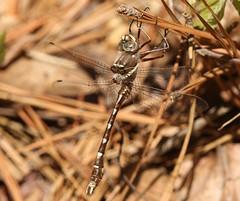 Stream Cruiser (Didymops transversa) Male (Rezamink) Tags: didymopstransversa streamcruiser dragonflies odonata usa
