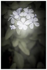 Flower (Jaka Pirš Hanžič) Tags: flower plant nature natural vignette leafs