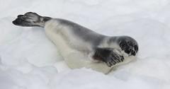 Harp Seal (kearneyjoe) Tags: harp seal flatrock newfoundland