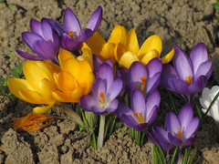 Podlesek / Crocus (Damijan P.) Tags: rože cvetje pomlad flowers spring slovenija slovenia prosenak podlesek crocus