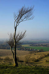 Pegsdon viewed from Deacon Hill (Jayembee69) Tags: pegsdon settlement village hamlet tree windswept lonetree hilltop view distant pegsdonhills naturereserve chalkdownland chilterns chilternhills bedfordshire beds unitedkingdom uk high countryside country landscape